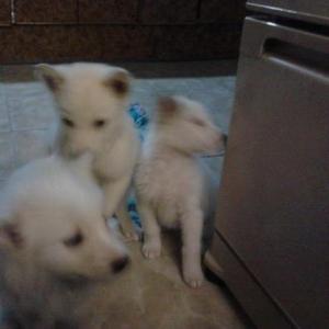 Продаются щенки лайки восточно-сибирской